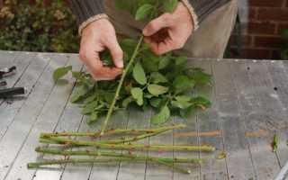 Как укоренить розы из букета зимой: размножение черенкованием и выращивание саженца