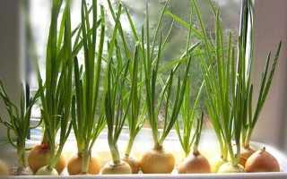 Зеленый лук на подоконнике дома: как вырастить, как посадить на зелень, в воде