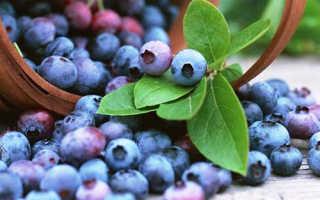 Голубика: посадка и уход на даче — секрет выращивание