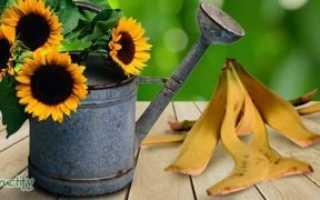 Удобрение из банановой кожуры для растений, как приготовить
