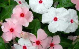 Катарантус ампельный: выращивание из семян