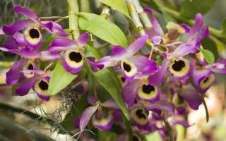 Орхидея дендробиум: уход и размножение в домашних условиях