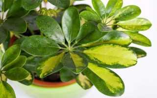 Размножение шефлеры в домашних условиях листом и черенками