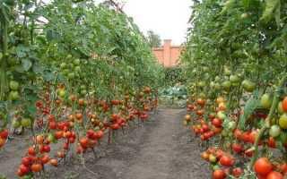Высокорослые помидоры: 7 самых лучших сортов для открытого грунта