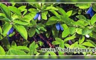 Размножение жимолости семенами, о саде, даче и комнатных растениях