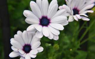 Диморфотека: фото цветка, выращивание из семян в домашних условиях, посадка и уход, когда сажать