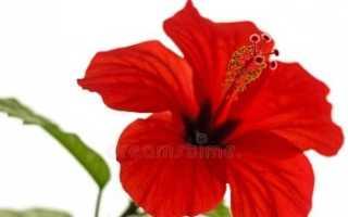 Китайская роза (фото цветов) — советы, секреты, рекомендации
