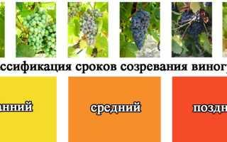 Срок созревания винограда