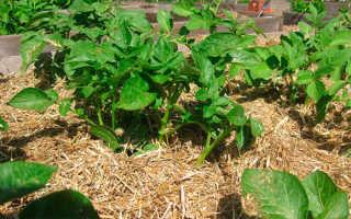 Посадка картофеля под солому: как и когда сажать, выращивание и уход