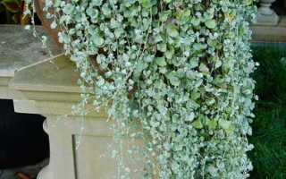 Выращивание дихондры серебристой из семян Посадка и уход Дихондра изумрудная