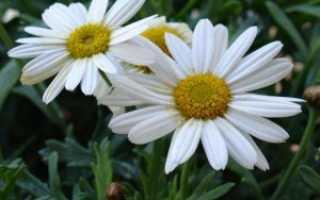 Леукантемум нивяник: описание, фото, выращивание из семян