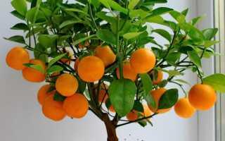 Комнатный мандарин в домашних условиях: уход, размножение, сорта — Женский Мир