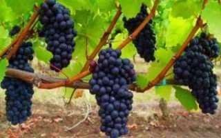 Выращивание винограда в средней полосе для начинающих: советы