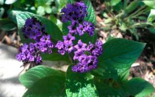 Гелиотроп цветок: посадка и уход в открытом грунте, выращивание из семян