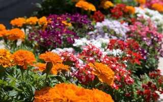 Неприхотливые однолетние цветы для клумбы, цветущие всё лето: названия и фото