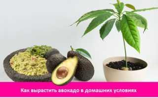 Как вырастить: Авокадо от косточки до плодоносящего дерева