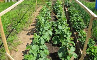 Выращивание огурцов в открытом грунте: особенности ухода