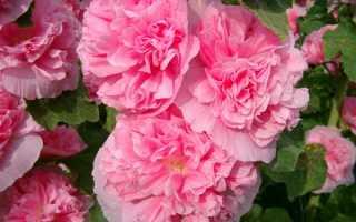 Шток роза, выращивание из семян, когда сажать в своем саду