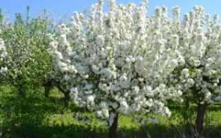 Как правильно посадить яблоню весной (схема посадки)