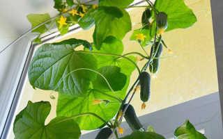 Выращивание огурцов на балконе пошагово: секреты агротехники