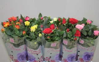 Правильный уход за комнатной розой в домашних условиях, Огород