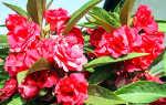 Бальзамин садовый: посадка и уход, выращивание в открытом грунте