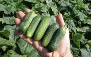 Огурцы в мешках: выращивание пошагово с фото и видео