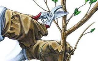 Обрезка яблони осенью: советы для начинающих