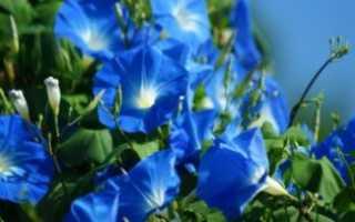 Ипомея не цветет почему: почему не зацветает ипомея