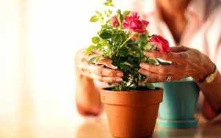 Как правильно обрезать комнатную розу? Комнатные цветы и уход за ними