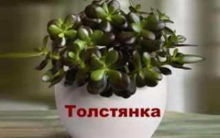 Живое дерево — лечебные свойства, рецепты — Популярно о здоровье