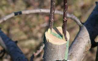 Прививка плодовых деревьев — способы, инструкция