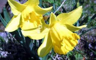 Нарциссы посадка и уход в открытом грунте, обрезка