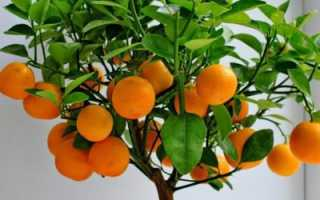 Как вырастить дома мандарин из косточки (часть-3) — Пересадка сеянцев мандарина