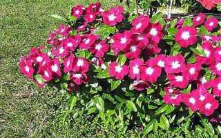 Катарантус — выращивание из семян через рассаду и ее высадка в открытый грунт