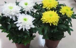Комнатная хризантема (в горшке): уход, посадка, в домашних условиях